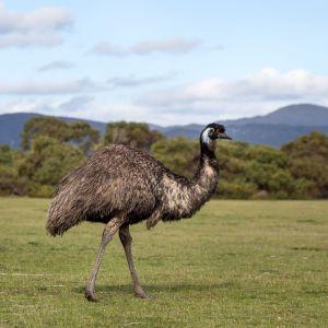Emu Neck Bones 5lbs.