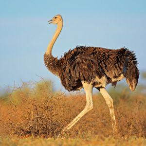 Ostrich Neck Bones